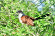 canvas print picture - burchells coucal in Hluhluwe game reserve in South Africa