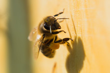 Bees Collect Honey And Carry Pollen On Their Paws To The Hive