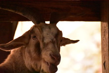 Goat Sticking Tongue Out At A ...