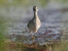 Single Wood Sandpiper Bird On Grassy Wetlands During A Spring Nesting Period