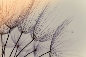 Abstract macro photo of dandelion seeds. Shallow focus. Old style tone.