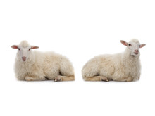Two Lying Sheep Isolated On A White Background.