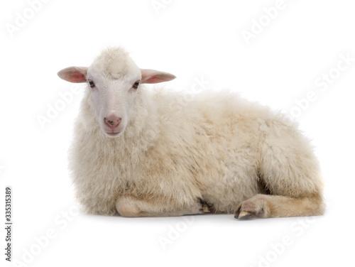 Obraz na plátně Lying sheep isolated on a white background.