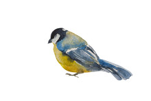 Blue Tit Bird Isolated On Whit...