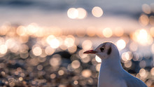 Seagull Is Looking Away Beside...