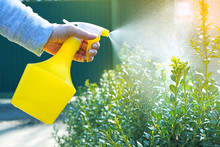 Garden Works Background With Spray Atomizer In Female Hands. Watering The Bushes.