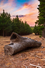 Huge Dead Tree In A Pine Fores...