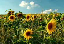 Sunflowers In The Field, Poland