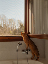 Ginger Cat Looking Out The Bat...