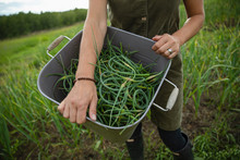 Close Up Woman Harvesting Fres...