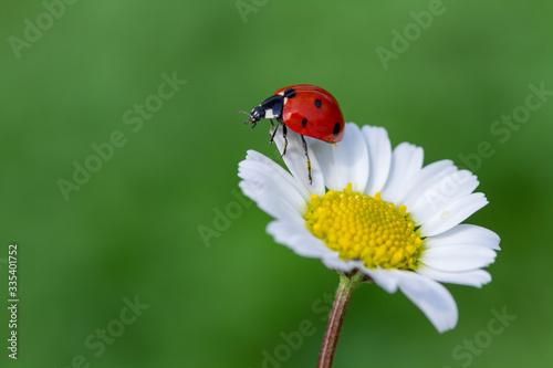 Carta da parati ladybug on daisy