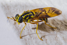 Yellow And Black Soldier Fly