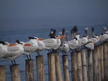 Gaviotas En Paracas, Perú