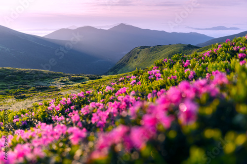 Fototapety, obrazy: Rhododendron flowers covered mountains meadow in summer time. Pink sunrise light glowing on a foreground. Landscape photography
