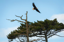 Bald Eagle Taking Off From It's Perch On A Fir Tree. A Bald Eagle Flies Away From The Tree Branch To Hunt For Food To Feed His Chicks Stationed In A Nest On A Nearby Tree. Lummi Island, Washington.