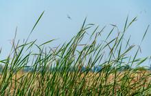 Tall Green Grass Along The Sacramento Delta