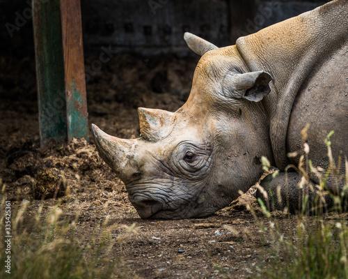 Fényképezés Portrait of endangered white rhino in zoo