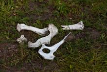 Bleached Animal Bones