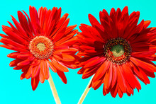 Two Red Daises Flowers Isolated On A Turquoise Background