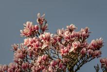 Closeup Of Magnolia Tree In Fu...