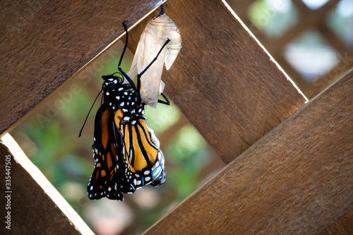 Obraz na plátně Close Up of Monarch Butterfly Stretching Its Wings Just After Emerging from Chry