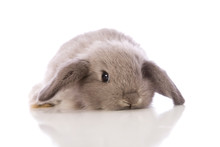 Baby Lop Eared Rabbit In Studio Shot On White Background.