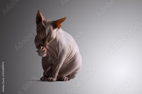 Photo Sphynx cat bathing