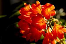 Beautiful Orange Clivia Miniat...