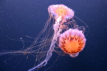 Scyphoid Jellyfish. Under The ...