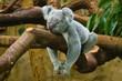 canvas print picture - Koala (Phascolarctos cinereus)