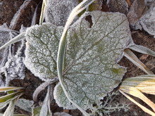 Leaves With Frost In The Forest