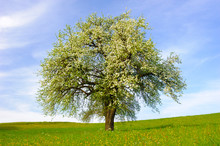 Blooming Apple Tree At Springtime In Field