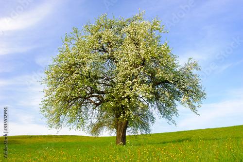 blooming apple tree at springtime in field Fototapeta