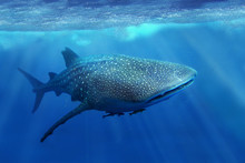 Whale Shark In The Sea Of Phil...