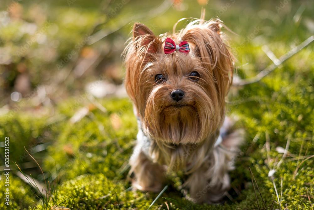 Fototapeta Portret psa w lesie.