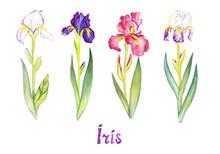 Iris  Collection, White, Purpl...