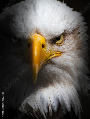 Fototapeta Front On Head Shot Of A Bald Eagle, Haliaeetus leucocephalus, Staring With Menac