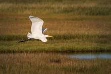 A Great Egret In Flight Above ...