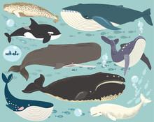 Marine Animal Whale Species Co...