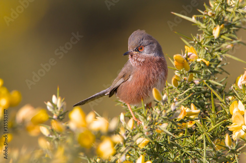 Valokuvatapetti Dartford Warbler, Sylvia undata, Checking For Local Rivals On A Gorse Bush In Threat Pose With Raised Crest On Its Head