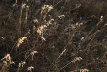 Autumn Dried Grass In The Rays...
