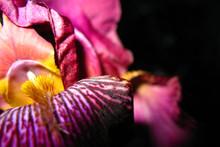 Close Up Iris Flower On Black ...
