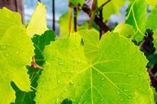 Young Leaf Of A Grape Tree Clo...