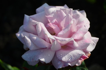 Close up of one large and delicate light pink rose in full bloom in a summer garden, in direct sunlight, with blurred green leaves in the background