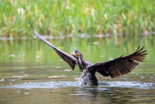 Cormorant Resting In The Fores...