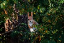 Europäisches Eichhörnchen Im...