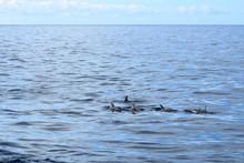 Dolphins Swimming In Atlantic Ocean In Front Of La Gomera, Canary Islands In Spain