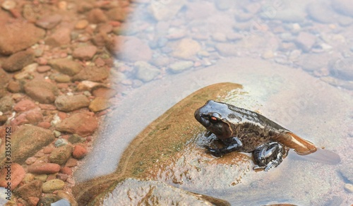 Valokuva Tadpoles on rock transitioning from a polliwog (tadpole) to a frog