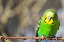 Green Budgie (Wellensittich, M...
