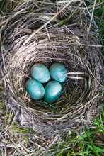 Beautiful Blue Eggs Of Blackbird In The Nest Top View